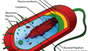 Bacterial-cell-structure-CC-G-Wiki