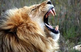 aslan-kukremesi-resim