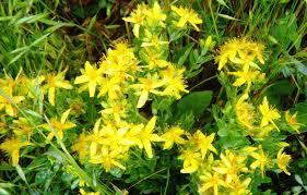 Sarı Kantaron Nasıl Kullanılır?